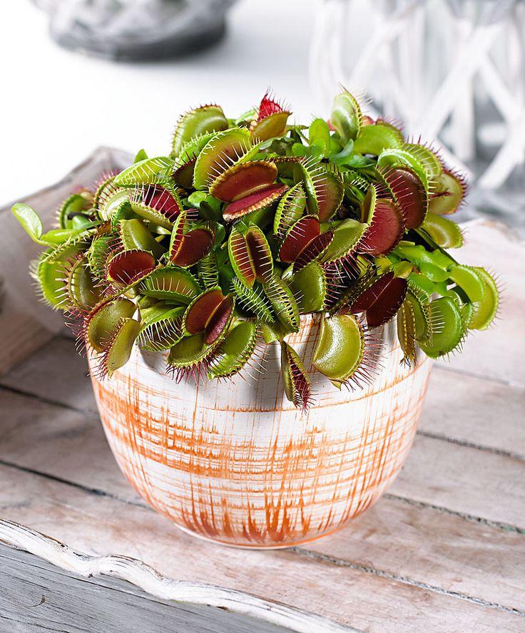 Attrape-mouches, plante carnivore | Plantes | Bakker France