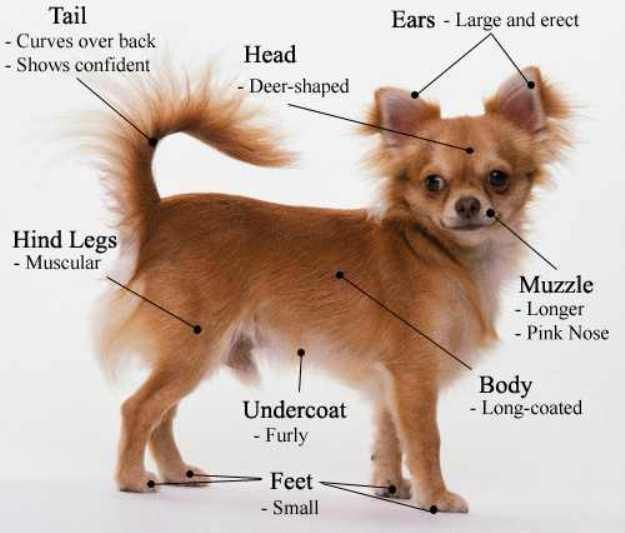 Tips On How To Train A Chihuahua Dog Chihuahua Puppies