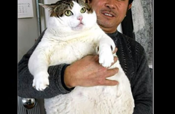 [Video] Worlds Top 5 Fattest Cats - (click for full article) http://www.ilovedogsandcats.com/video-worlds-top-5-fattest-cats/ -  So how much do you think the fattest cat in the world weighs? (by this list). 20 pounds? 30…40? What do you think it took to make number 5 on the list? Well go to the next page and see if you are right. ___________________ Click on the 'Next Page' link below for the...