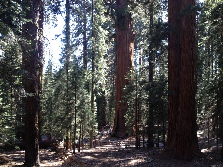 Sequoia National Park boasts groves of California's famous Giant Sequoia trees, like those seen here.