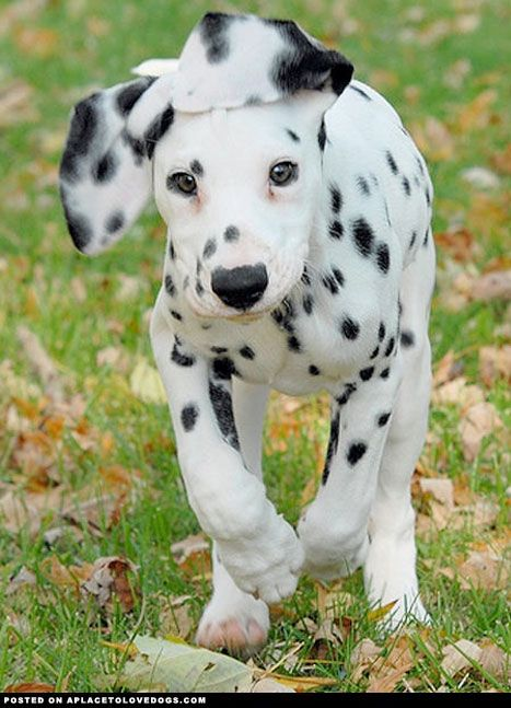 Adorable Dalmatian puppy Vixen running, just love the cute face and floppy ear!