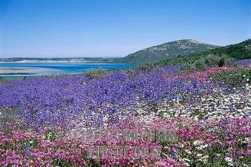 Langebaan - spring in the West Coast Nature Reserve next to the Langebaan lagoon. Western Cape, South Africa