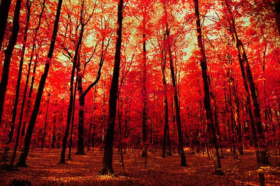 Autumn photo red leaves Canadian autumn maple forest by bomobob, $135.00