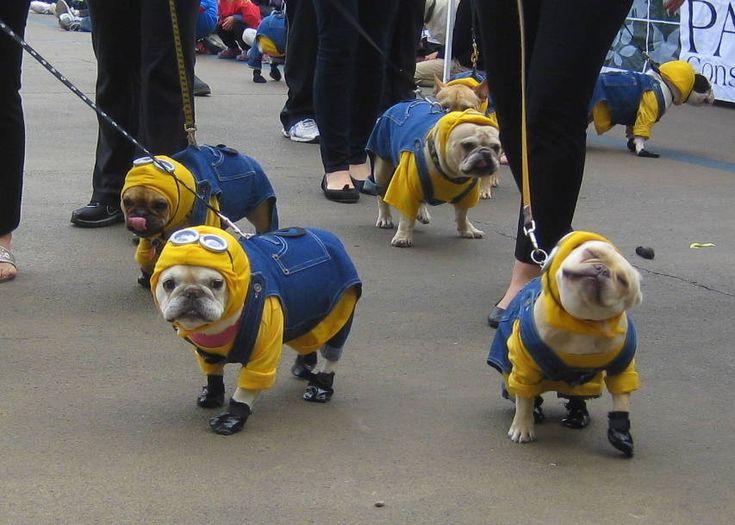 Minions!: Pugs Minions, Puppies, Funny Dogs, French Bulldogs, Halloween Costumes, Pet, Minions Dogs, Bulldogs Minions, Animal