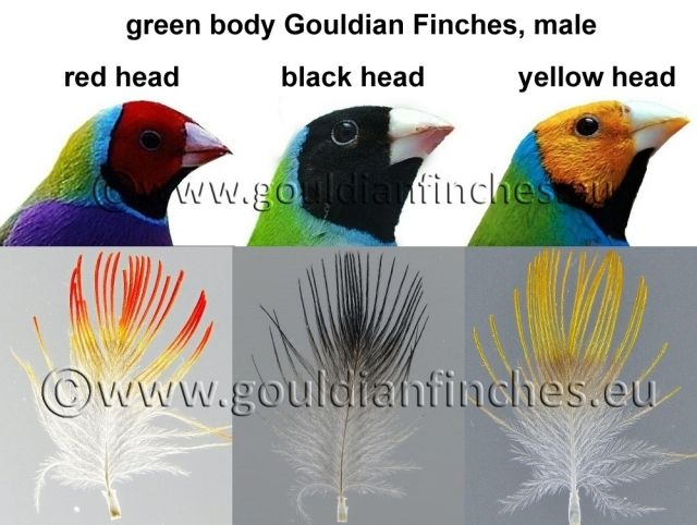 Gouldian Finch head coloring