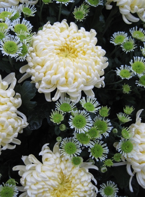 Chrysanthemums, photo by Pat Longmuir