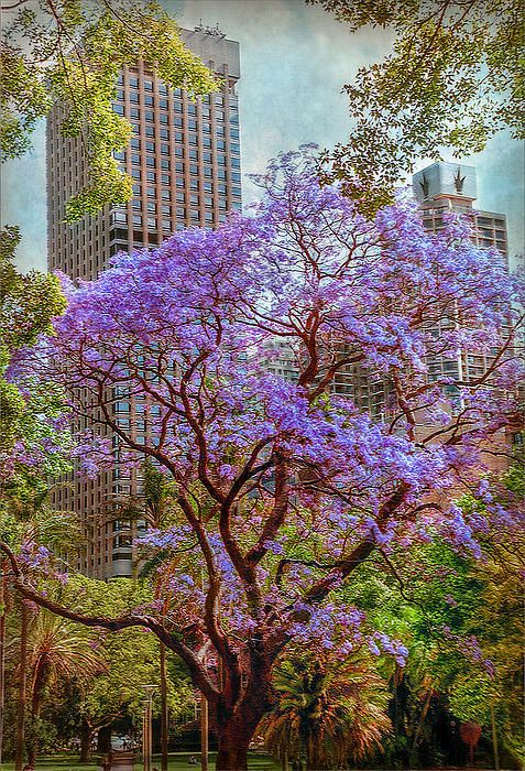 Sidney, New South Wales, Australia,   Jacaranda tree in Sidney's Royal Botanic…