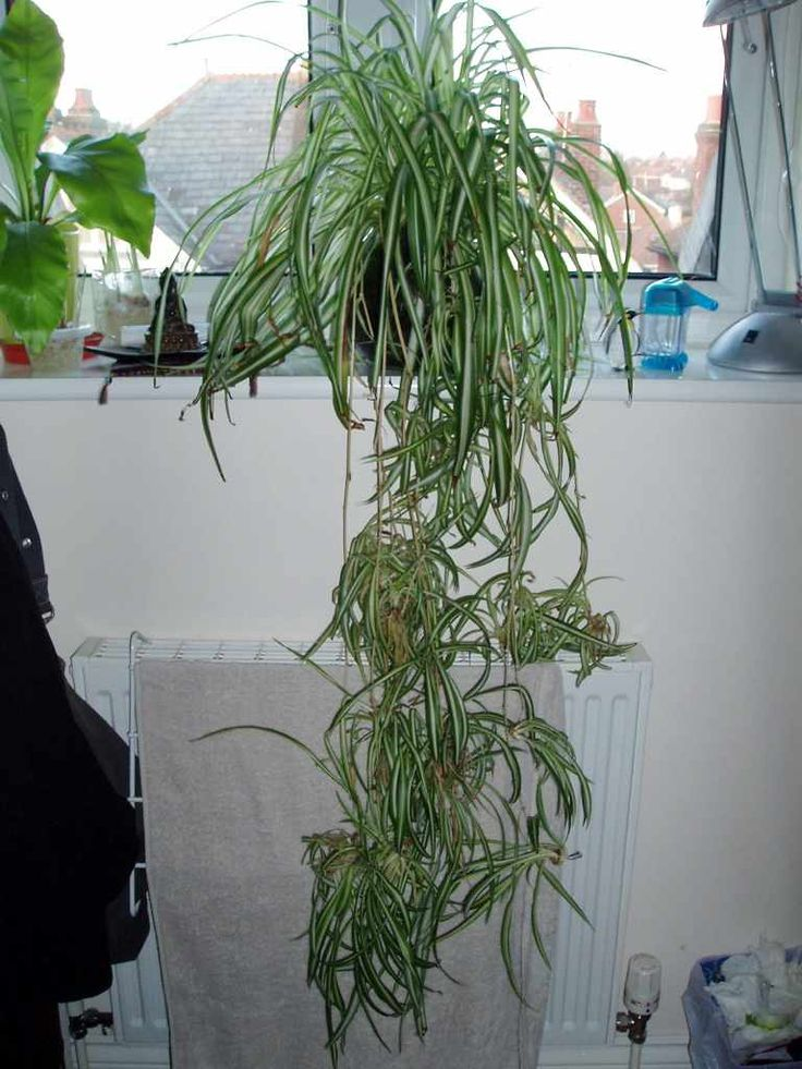 Spider plants are another commonly grown houseplant. To keep these plants looking their best, it is occasionally necessary to trim spider plant leaves and spiderettes. Learn how to do that here.