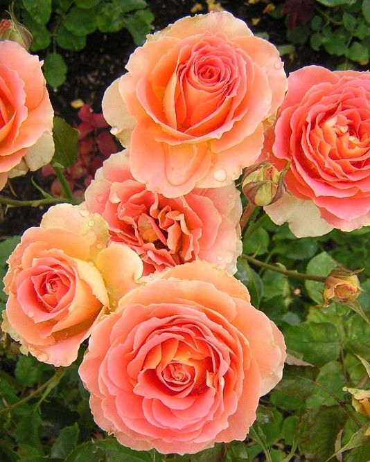 """""""Brass Band"""" roses - they smell just like cotton candy!"""