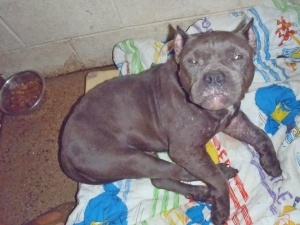 Auora is an American Staffordshire Terrier