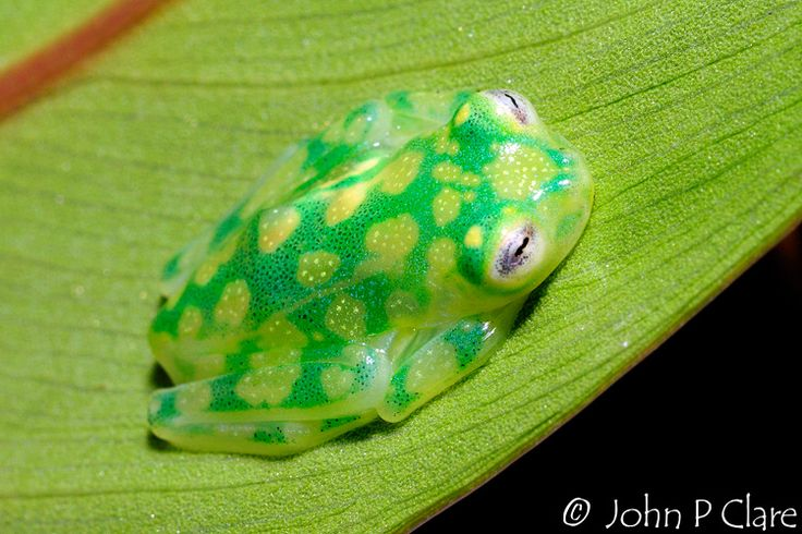 Hyalinobatrachium valerioi; Reticulated Glass Frog / weird