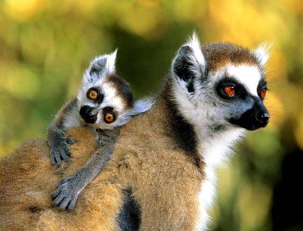 les 25 meilleures idées de la catégorie lémurien sur pinterest