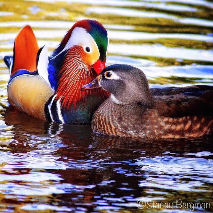 Male Mandarin Duck And Female Wood