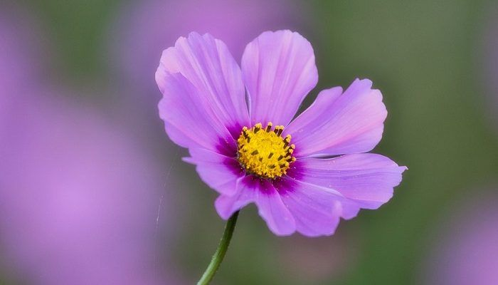 Cosmos Flower Meaning And Symbolism Flower Meanings Cosmos Flowers Cosmos