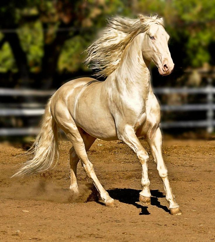 Holly Zech, a Akhal-Teke Horse.  The most amazing coat without a doubt, but harsh breeding i think.  Sad, thin, and shaved.