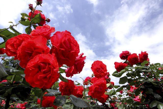 A short description on how to plant roses for the beginning gardener.