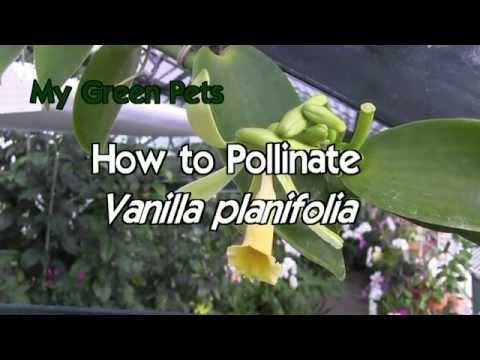 How to pollinate Vanilla planifolia - detailed explanation! - YouTube