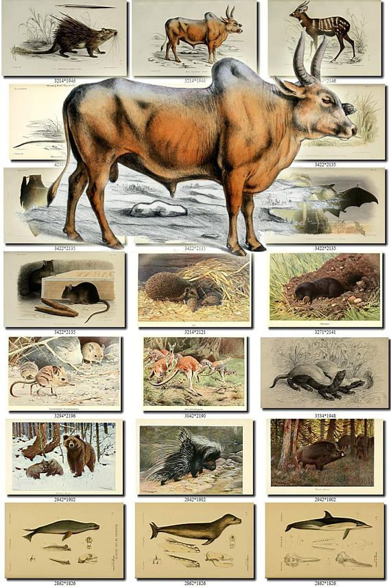 MAMMALS-23 Collection of 56 vintage images animals Rat Mouse Alpine Marmot, Atherura Armata (L), Australian Sea-Bear or Fur-Seal, Badger, Bat, Beaver, Bennett