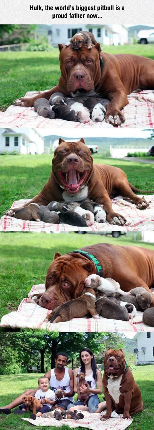 The world's biggest pitbull is a proud father now