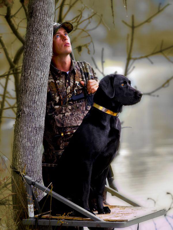 Black Labrador Retriever / Hunting Dog