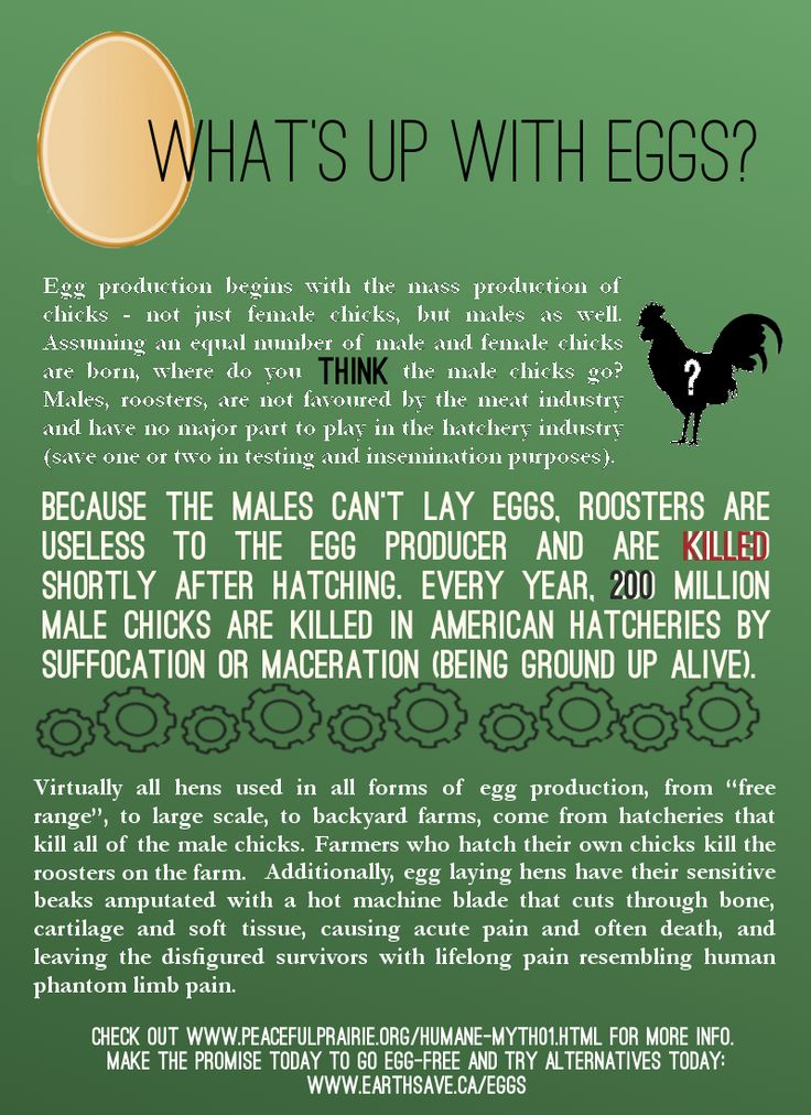 Because roosters can't lay eggs, male chicks are killed shortly after hatching by suffocation or being ground up ALIVE. Pass the tofu omelet, please!