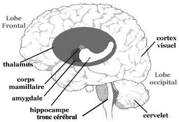 Les ganglions de la base sont responsables de l'apprentissage et de l'exécution des comportements appris. La mémoire est principalement contrôlée par une structure différente appelée hippocampe tandis que l'amygdale gère les émotions fortes.