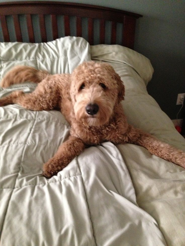Goldendoodle Pet Breeds Dogs Puppies Dog Haircuts