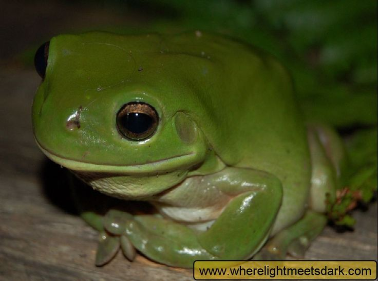 10 Best images about FROGS on Pinterest | Patiently ...