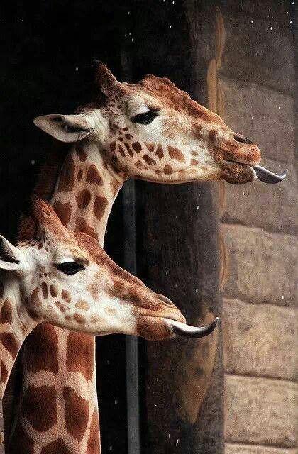 Giraffes catching raindrops