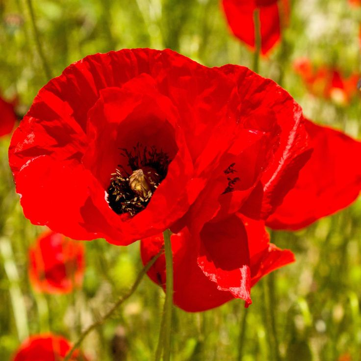 1/4 Pound Red Corn Poppy Flower Seeds- Papaver Rhoeas