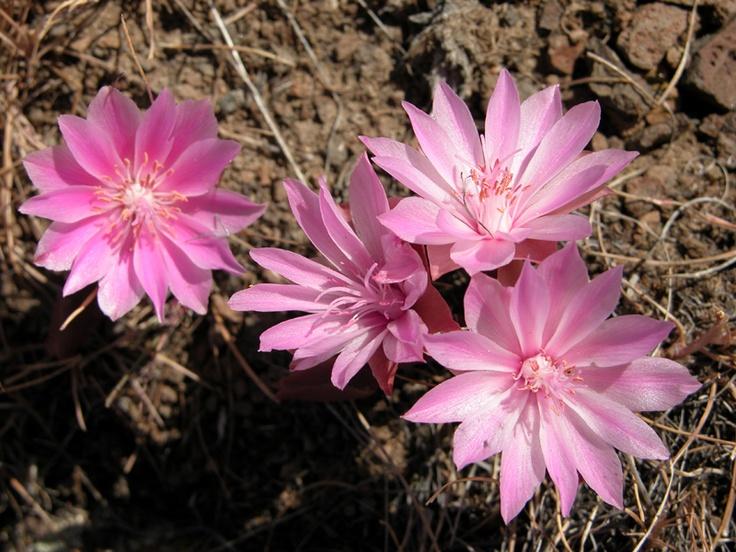 105 best native plants  okanagan  images on pinterest