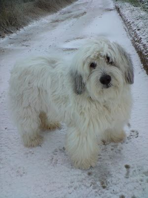 Polish Lowland Sheepdog after an ice storm