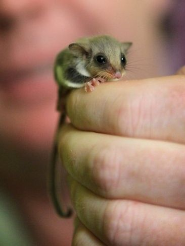 baby sugar glider. They are so cute but are very high maintenance.