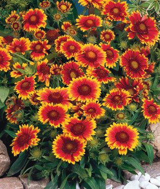 (Gaillardia, Arizona Sun full sun perennial.) I have these in my garden. They are a low growing plant with a big pop of color!