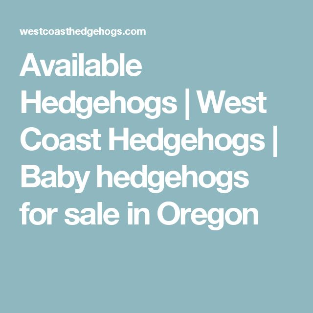 Available Hedgehogs | West Coast Hedgehogs | Baby hedgehogs for sale in Oregon