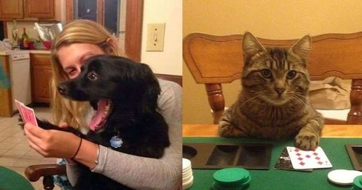 Cute Cat vs Crazy Dog playing poker. Do you know who will win this hand?