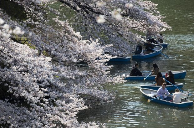People ride row boats near cherry trees in bloom at the Chidorigafuchi moat in Tokyo, Japan. Japan's cherry blossom season is reaching its climax this week. The season officially kicke...
