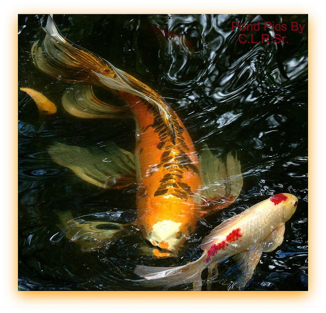 494 best images about koi fish goldfish on for Koi carp pond depth