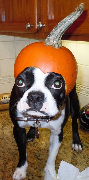 Boston Terrier trying to act like there is NOT a pumpkin posing as a hat on his head.