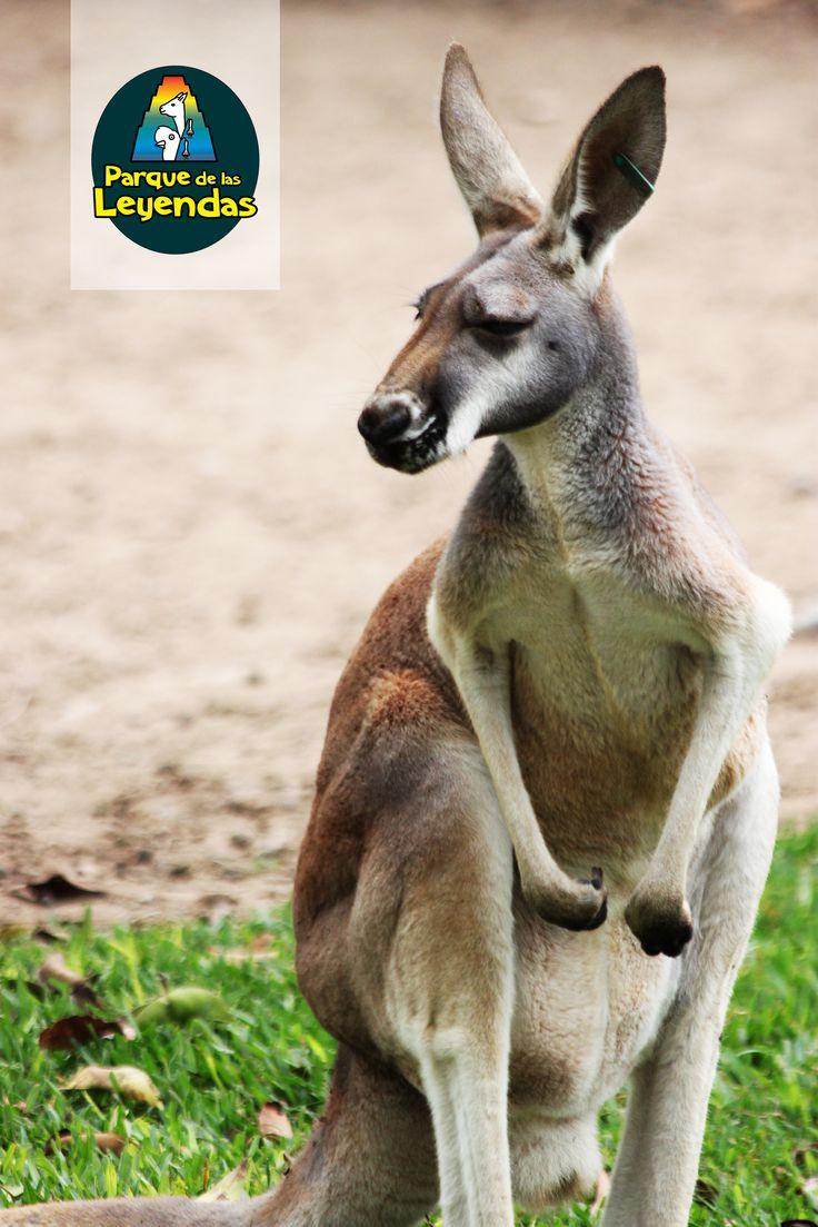 Canguro. Vive en áreas boscosas. De hábitos nocturnos y crepusculares. Cuando se desplazan, saltan sobre sus patas. El macho dominante es, generalmente, el único que se reproduce, la dominancia se establece mediante el boxeo, que es una forma de competencia. Se alimenta de hierbas y hojas.  ¿Sabías qué? Estos animales son marsupiales, es decir poseen un marsupio o bolsa a la cual migran las crías al nacer.