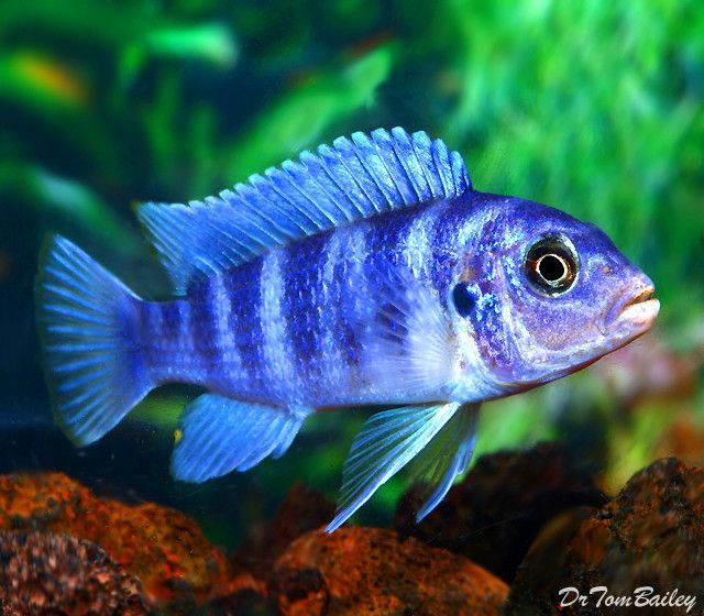 Premium Kenyi Mbuna Cichlid From Lake Malawi 1 5 To 2 Long Cichlids Aquarium Fish For Sale African Cichlids