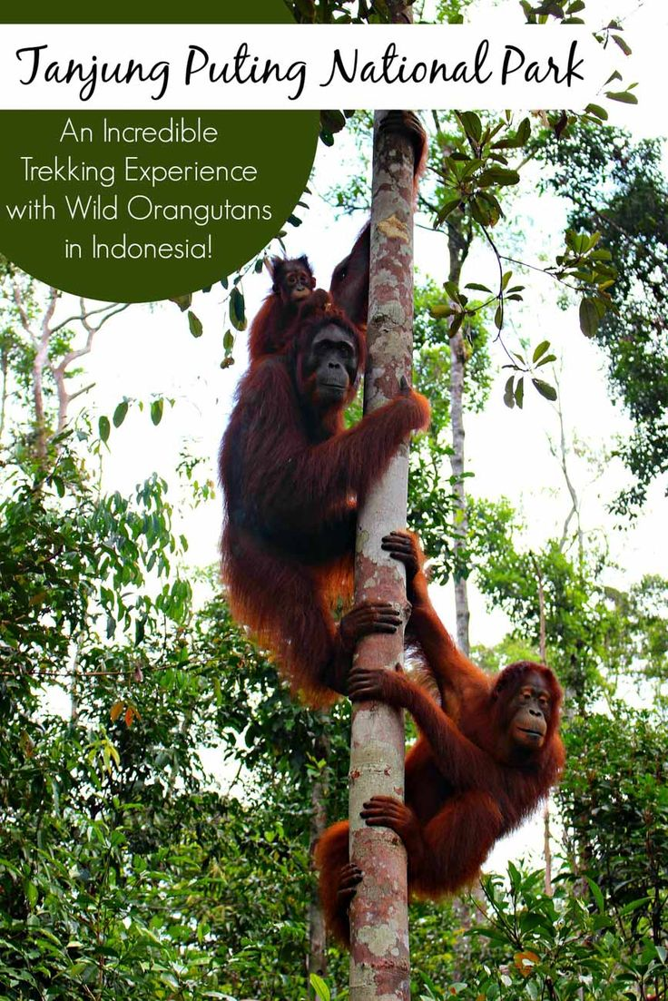 Tanjung Puting National Park » An Incredible Trekking Experience with Wild Orangutans