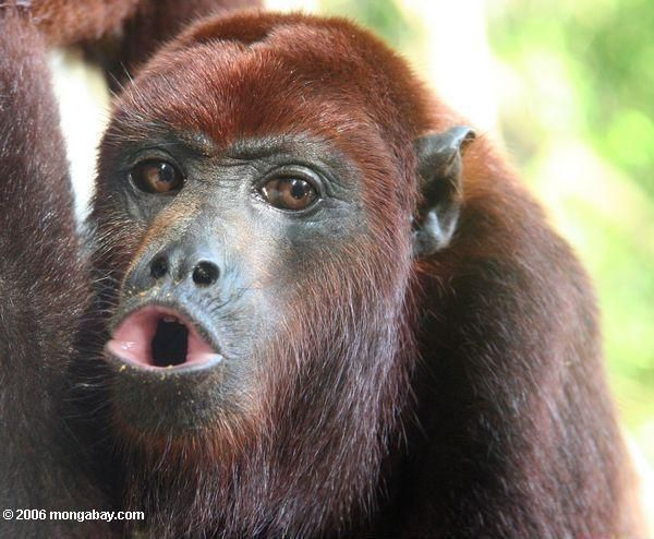 Amazon rainforest photos: Red howler monkey howling