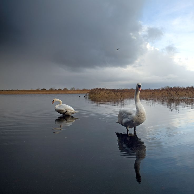 lough corrib swans galway west of ireland photography by Alan O'Luain. visit my web site www.lhandal.com