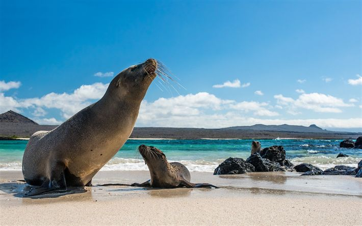 Download wallpapers Galapagos sea lion, wildlife, marine animals, Galapagos Islands, North America
