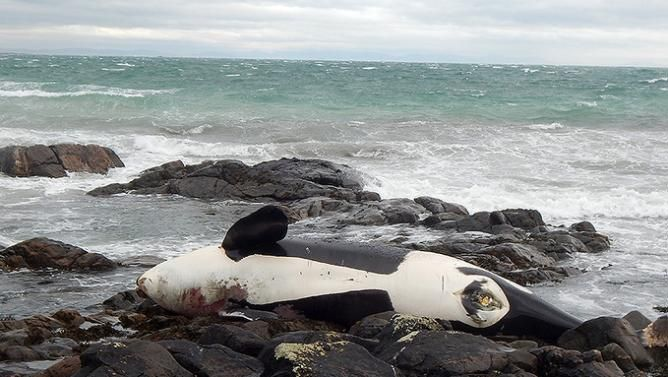 Rare Killer Whale Dies After Becoming Entangled in Fishing Gear