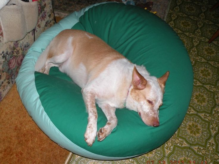 Beau is a Kelpie x Border Collie from Atherton in Qld #Kelpie #Border #Collie #bed #pet #petbed #beanbed #dog