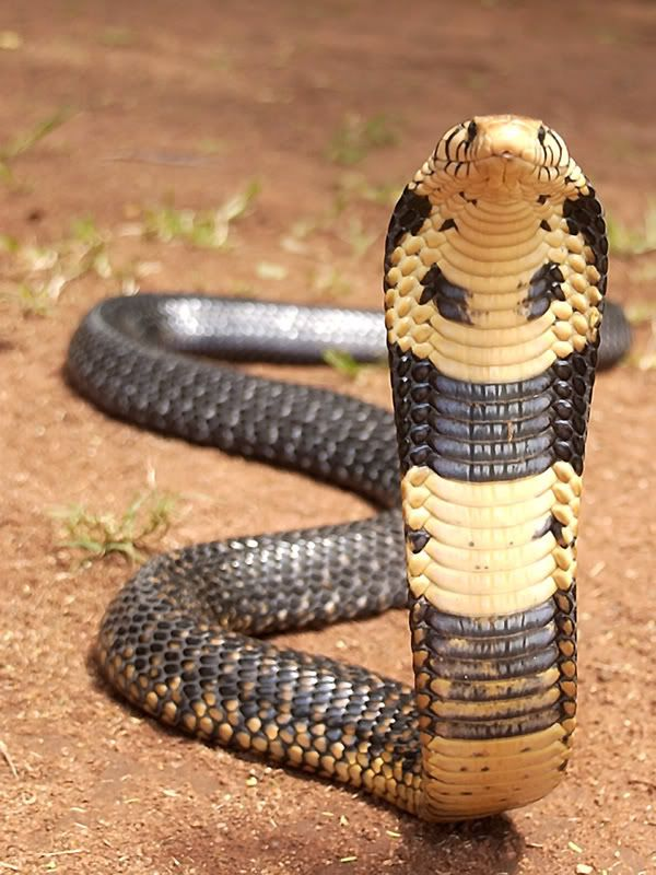 Black Forest Cobra