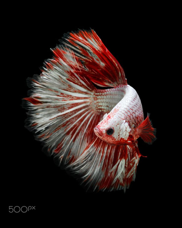 Giant Betta fish half moon by Kidsada Manchinda on 500px
