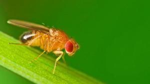 Effektiv fælde fjerner møgirriterende bananfluer | Viden | DR
